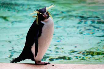 Rockhopper Penguin of the London Zoo